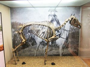 Skeleton of Merengo, Napoleans Horse