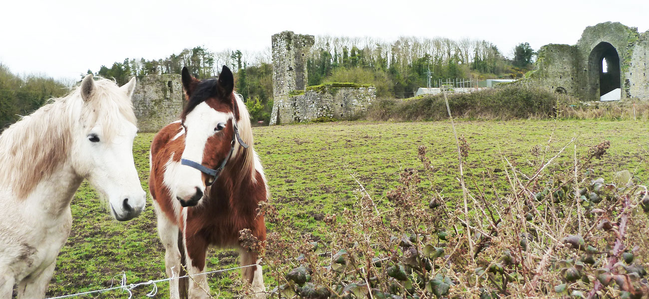 Horses rest by Ballybeg Abbey Buttevant